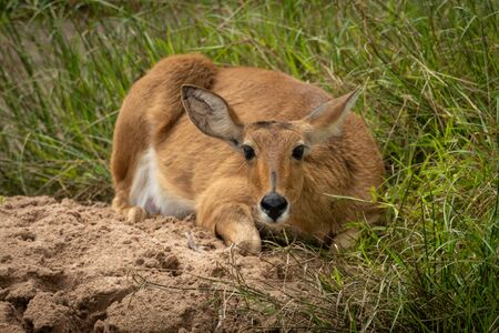 Reedbuck lies on sand looking at camera Stock Photo - 129486131