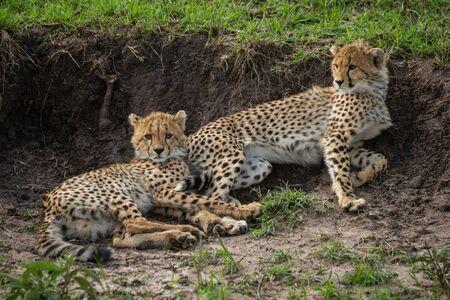 Two cheetah cubs lie against earth bank