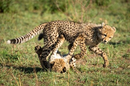 Two cheetah cubs play fighting on grass Reklamní fotografie