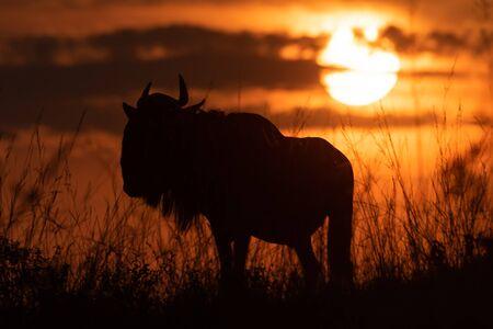 Silhouette of blue wildebeest under setting sun