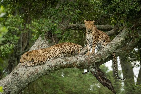 Two leopards sit and lie on branch Stock Photo - 129486158