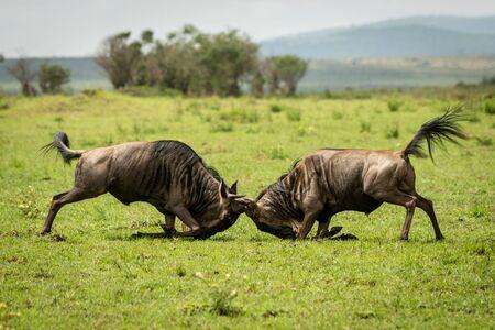 Two male blue wildebeest fight in grassland Stockfoto
