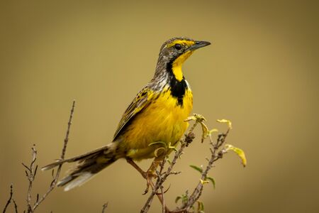 Yellow-throated longclaw in profile with blurred background Stock Photo - 129486157