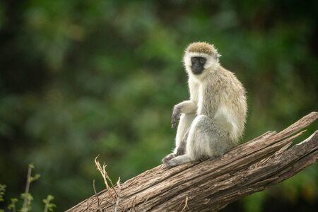 Vervet monkey sits on log eyeing camera Stock Photo - 129486156