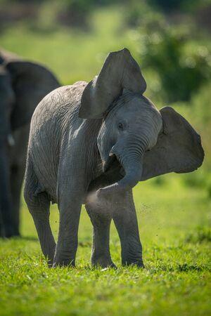 Young elephant enjoys dust bath shaking head
