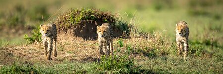 Three cheetah cubs cross grass towards camera Stock Photo - 129486166