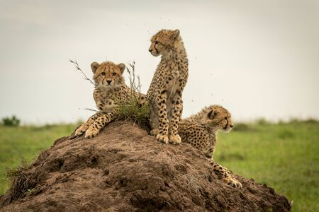Three cheetah cubs looking around on mound