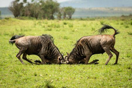 Two male blue wildebeest fight in grass