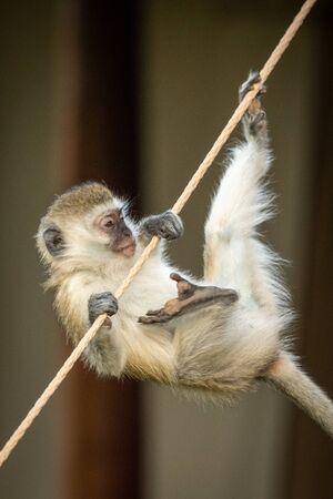 Vervet monkey tries to climb tent rope