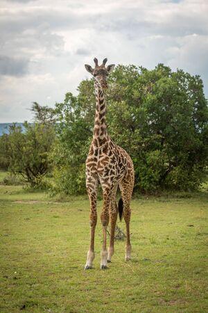 Young Masai giraffe on savannah eyeing camera Stock Photo