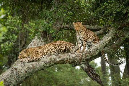 Two leopards sit and lie in tree Stock Photo