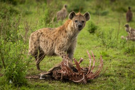 Spotted hyena stands over kill eyeing camera Stock Photo - 129486175