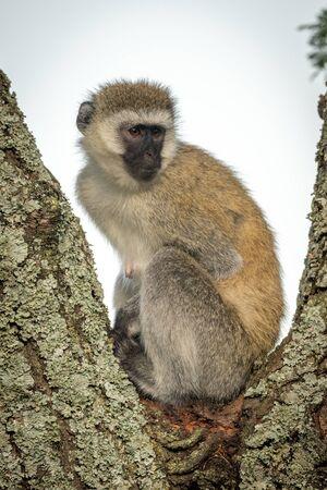 Vervet monkey sits in tree turning head Stock Photo - 129486172