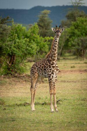 Young Masai giraffe stands in short grass
