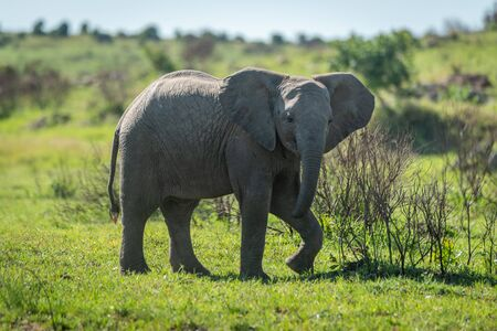 Young elephant lifts foot while crossing grassland Stock Photo - 129486196