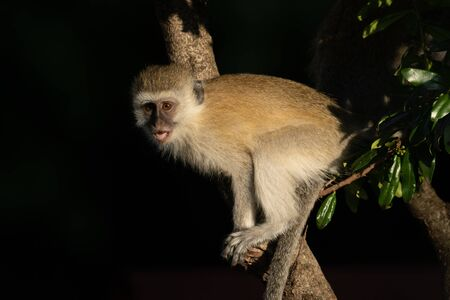Vervet monkey with catchlight sits in tree Stock Photo - 129486197