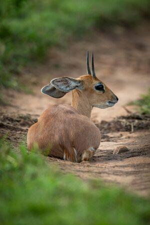 Steenbok lies on sandy track looking back