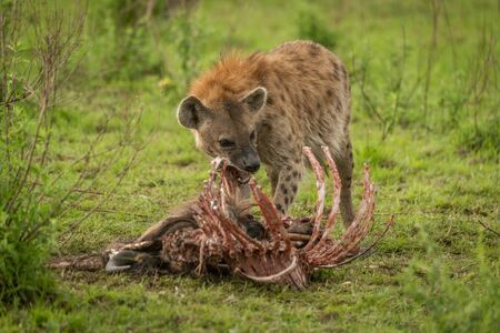 Spotted hyena stands gnawing ribs of carcase Stock Photo - 129486204