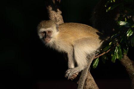 Vervet monkey with catchlight sits on branch