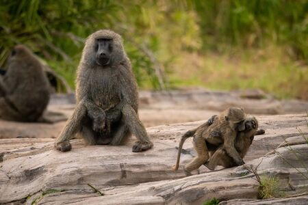 Two young olive baboons play by father