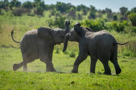 Two young elephants play fight on grass Stockfoto
