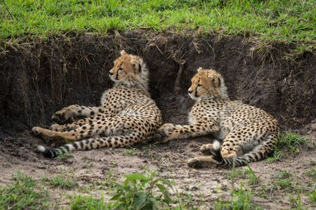 Two cheetah cubs lie beside earth bank Stock Photo - 129486208