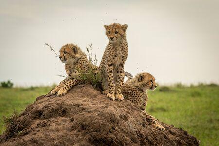 Three cheetah cubs scanning horizon on mound Reklamní fotografie