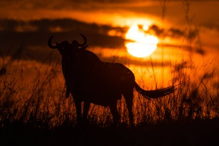 Silhouette of blue wildebeest standing at sunset Stock Photo - 129486206