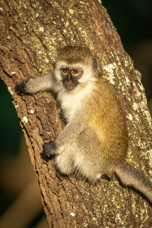 Vervet monkey with catchlight clings to tree Stock Photo - 129486209