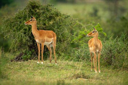 Two female impala stand among leafy bushes Stock Photo