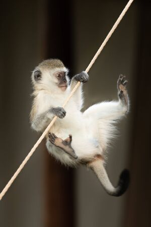 A vervet monkey clings on to the guy rope of a tent with its forepaws while desperately trying to reach it with its feet. Stock Photo - 129486216