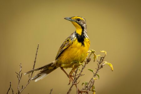 Yellow-throated longclaw perches on branch turning head Stock Photo - 129486218