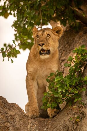 Young lion sits in tree looking left Stock Photo - 129486215