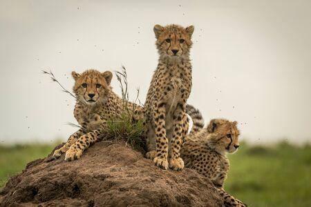 Three cheetah cubs on mound scanning savannah