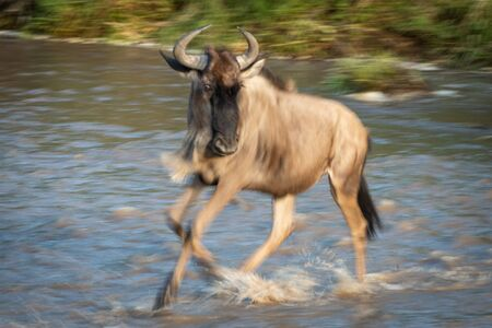 Slow pan of blue wildebeest crossing river Stock Photo - 129486219