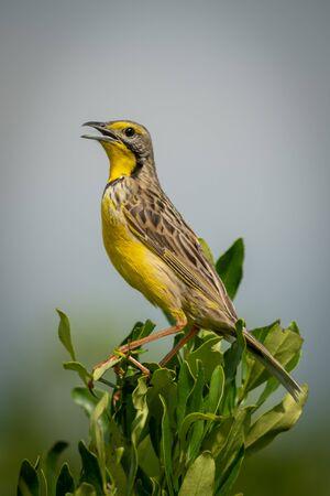 Yellow-throated longclaw perched on bush opening beak