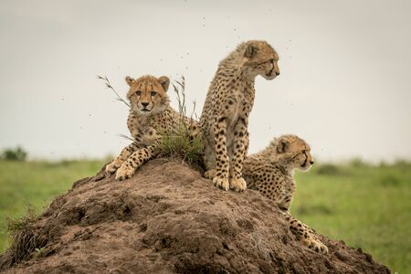 Three cheetah cubs on mound looking around