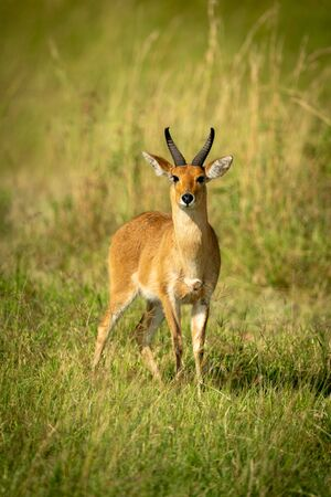Reedbuck stands in long grass watching camera Stock Photo - 129486224