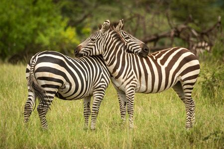 Two plains zebra lean on each other Stock Photo - 129486226