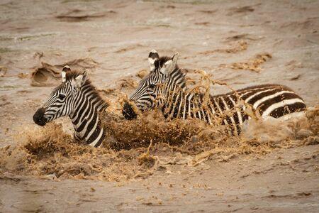 Two plains zebra walk across muddy river Stock Photo - 129486227