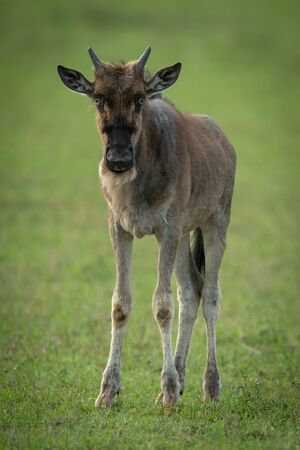 Blue wildebeest calf stands looking at camera Stockfoto