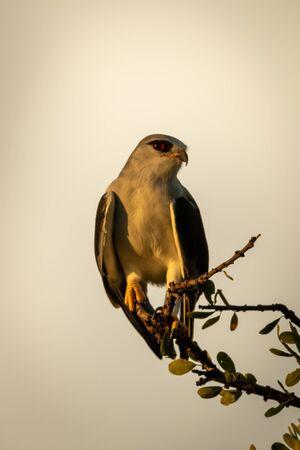Black-shouldered kite on leafy branch eyeing camera