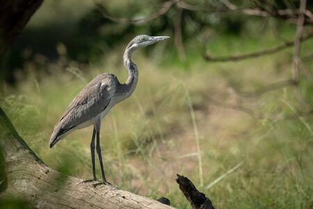 Black-headed heron stands on log looking right Stock Photo