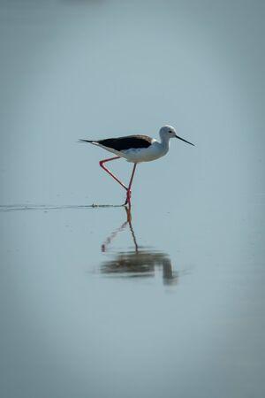 Black-winged stilt walking through lake in sunshine