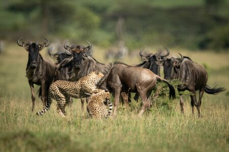 Blue wildebeest watch two cheetah throttle another