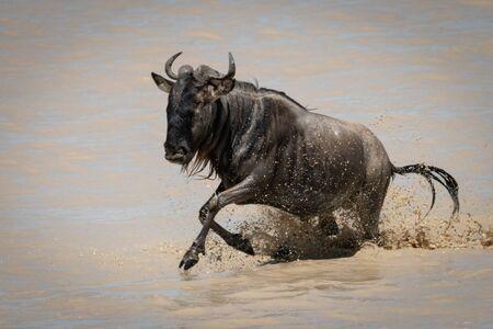 Blue wildebeest gallops through shallow muddy lake