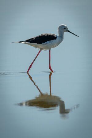 Black-winged stilt stepping through shallows in sunshine Stock Photo