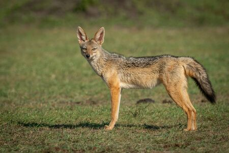 Black-baked jackal stands on grass facing camera Stock Photo