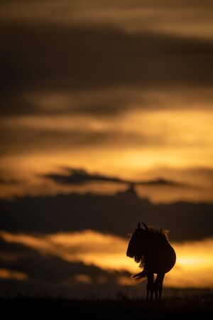 Blue wildebeest stands silhouetted against sunset horizon
