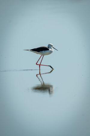 Black-winged stilt walks through shallows in sunshine